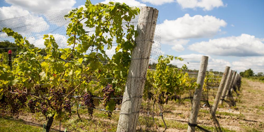 Grapes growing in the vineyard